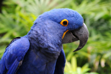 Hyacinth Macaw expensive animals